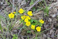 Flores amarillas salvajes yermo Imagenes de archivo