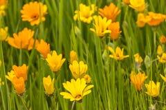 Flores amarillas y anaranjadas Fotos de archivo