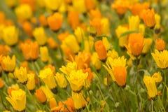 Flores amarillas y anaranjadas Imagenes de archivo