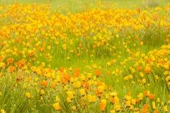 Flores amarillas y anaranjadas Imágenes de archivo libres de regalías