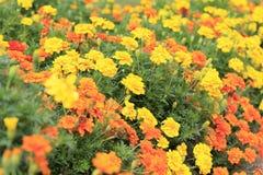 Flores amarillas y anaranjadas brillantes en jardín botánico Imagen de archivo libre de regalías