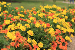 Flores amarillas y anaranjadas brillantes en jardín botánico fotografía de archivo libre de regalías
