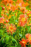 Flores amarillas y anaranjadas de la dalia Fotografía de archivo libre de regalías
