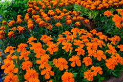 Flores amarillas y anaranjadas de la maravilla en potes en venta en la exhibición del mercado del jardín imágenes de archivo libres de regalías