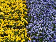 Flores amarillas y azules en el en del  del ri KÅ del  de ÅŒdÅ Imagenes de archivo