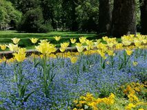 Flores amarillas y azules, tulipanes en el jardín, parque, cierre para arriba fotos de archivo