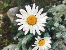 Flores amarillas y blancas hermosas foto de archivo libre de regalías