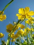 Flores amarillas y cielo azul imágenes de archivo libres de regalías