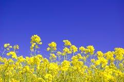 Flores amarillas y cielo azul. Imágenes de archivo libres de regalías