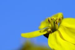 Flores amarillas y cielo azul Foto de archivo libre de regalías