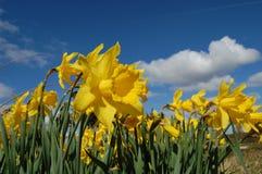 Flores amarillas y cielo azul Imagen de archivo
