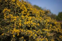 Flores amarillas y cielos azules - parques de Londres en un día soleado en primavera fotos de archivo libres de regalías