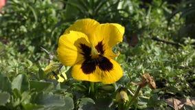 Flores amarillas y negras hermosas almacen de metraje de vídeo