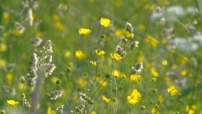 Flores amarillas y oscilación de la hierba en el prado con el viento metrajes