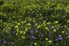 Flores amarillas y púrpuras del prado de la primavera imagen de archivo libre de regalías