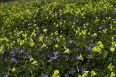 Flores amarillas y púrpuras del prado de la primavera fotos de archivo libres de regalías
