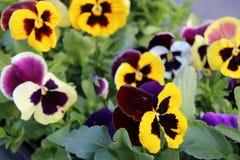 Flores amarillas y púrpuras en el jardín imagenes de archivo