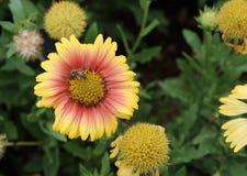Flores amarillas y rojas Imagen de archivo libre de regalías