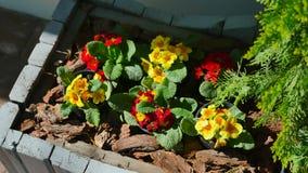 Flores amarillas y rojas en potes cerca del enebro en la tierra almacen de video