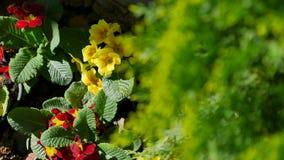 Flores amarillas y rojas en potes cerca del enebro en la tierra la visión superior almacen de video