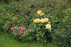 Flores amarillas y rosadas de oro de las rosas del jardín Fotografía de archivo