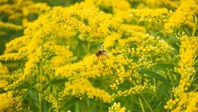 Flores amarillas y una abeja Fotos de archivo