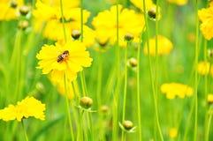 Flores amarillas y una abeja Imagenes de archivo