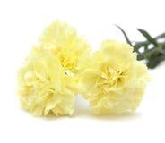 Flores amarillo claro del clavel aisladas Imagen de archivo