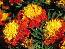 Flores amarillo-naranja Foto de archivo libre de regalías