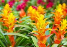 Flores amarillo-naranja de la bromelia Imagenes de archivo