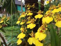 Flores amarillo-naranja de la orquídea que florecen solamente invierno Fotografía de archivo libre de regalías