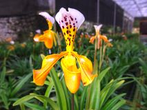 Flores amarillo-naranja de la orquídea que florecen solamente invierno Imagenes de archivo