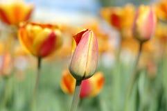 flores Amarillo-rojas del tulipán. Fotografía de archivo libre de regalías