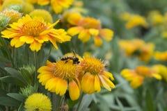 Flores amarillos Foto de archivo
