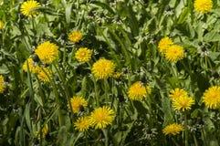 Flores amarillos de la flor del diente de león en hierba Imagen de archivo libre de regalías
