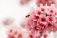 Flores & abelha de cereja Imagem de Stock Royalty Free