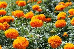 Flores anaranjadas Imágenes de archivo libres de regalías