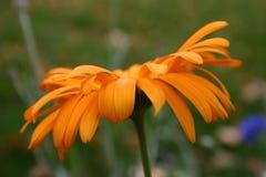 Flores anaranjadas Imagen de archivo libre de regalías