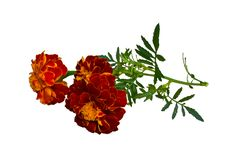 Flores anaranjadas brillantes imágenes de archivo libres de regalías