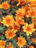 flores anaranjadas brillantes de un Chrysant esférico Fotografía de archivo libre de regalías