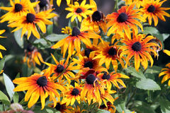 Flores anaranjadas brillantes del coneflower o del Rudbeckia en jardín Fotografía de archivo libre de regalías