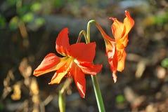 Flores anaranjadas, capturadas en parque de la cumbre, parque de la fauna de la República de Panamá Foto de archivo libre de regalías