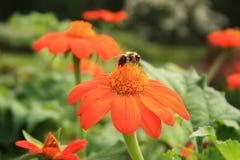 Flores anaranjadas con la abeja en el centro Foto de archivo