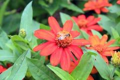 Flores anaranjadas con la abeja en el centro Imagen de archivo libre de regalías