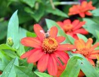 Flores anaranjadas con la abeja en el centro Foto de archivo libre de regalías