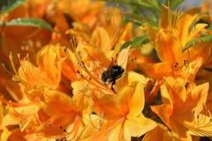 Flores anaranjadas de la azalea y una abeja ocupada Imagen de archivo