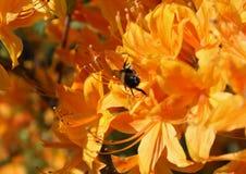 Flores anaranjadas de la azalea y una abeja ocupada Imagen de archivo libre de regalías
