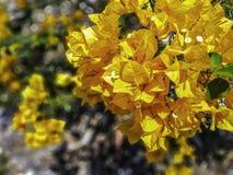 Flores anaranjadas de la buganvilla en luz del sol brillante imágenes de archivo libres de regalías
