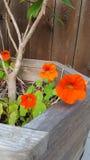 Flores anaranjadas de la capuchina Foto de archivo libre de regalías