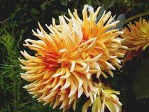 Flores anaranjadas de la dalia Fotos de archivo libres de regalías